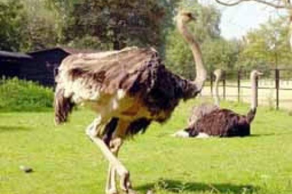 На окраине Липецка разводят страусов
