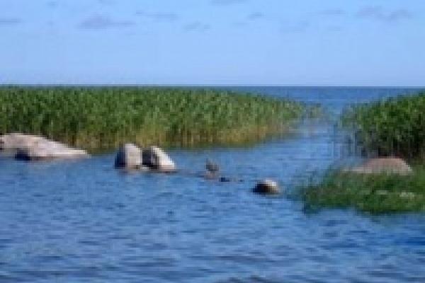 В Липецкой области дикие утки становятся редкостью.