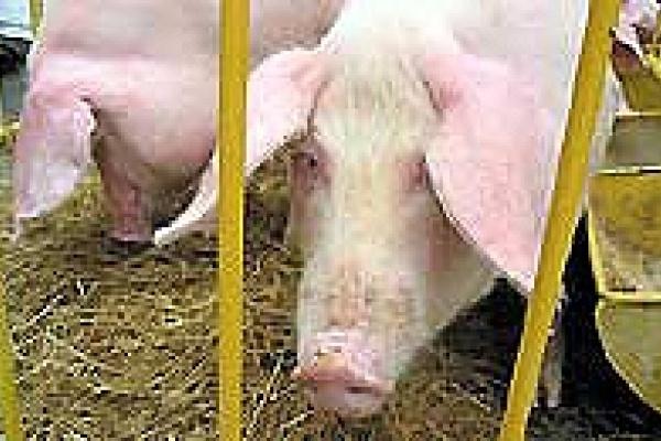 Свиноводы насвинячили