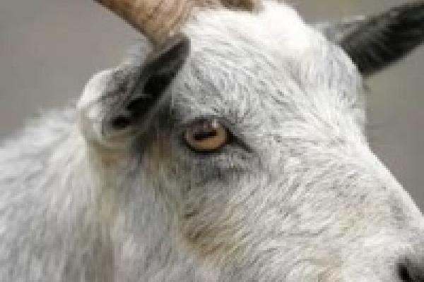 Смерть козы