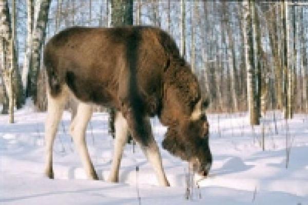 Глава Становлянского района незаконно защищал лосей, зайцев и других