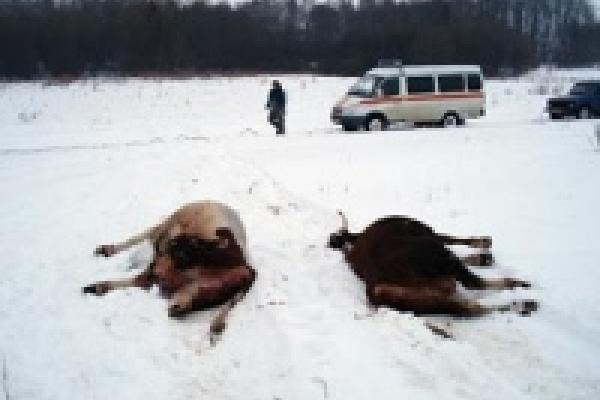 Со дна Дона достали 38 коров