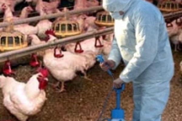 От птичьего гриппа весной привьют 700 тысяч пернатых