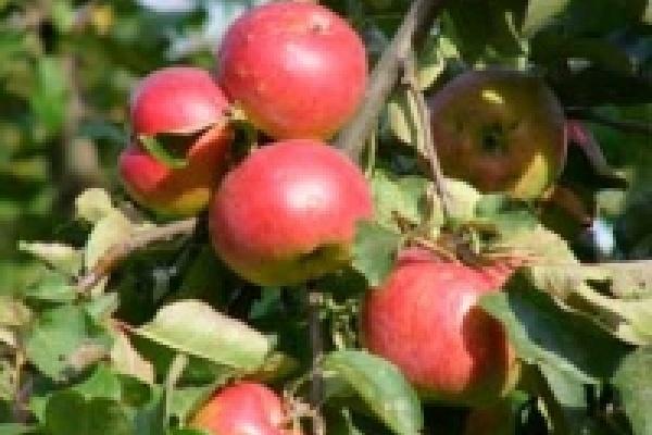Ожидается хороший урожай яблок