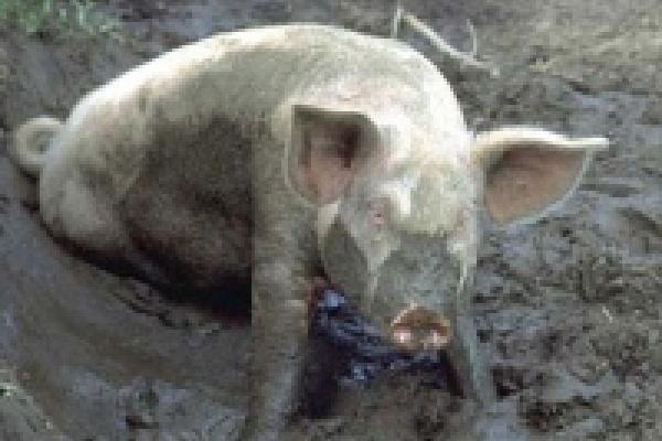 Испанцы научат липчан растить свиней