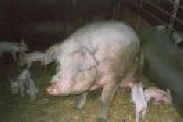 Свиней выносили на руках