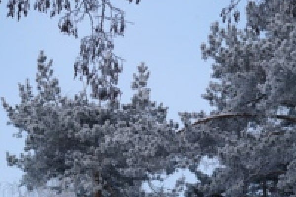 Кабаны из Воронежского заповедника зимуют в липецких лесах под охраной охотников