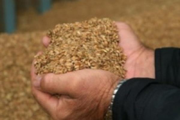 Селяне планируют собрать зерна больше, чем в урожайном 2007 году