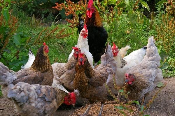 После скандала с сальмонеллой продукция «Куриного царства» оказалась под особым контролем ветеринаров