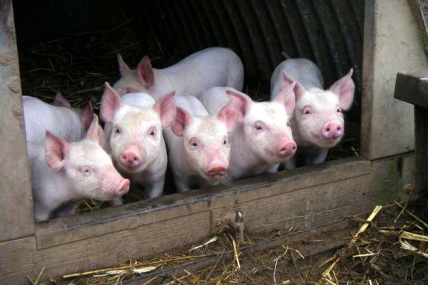 В Хлевенском районе мясокомбинат «Албиф» запустил линию по забою свиней
