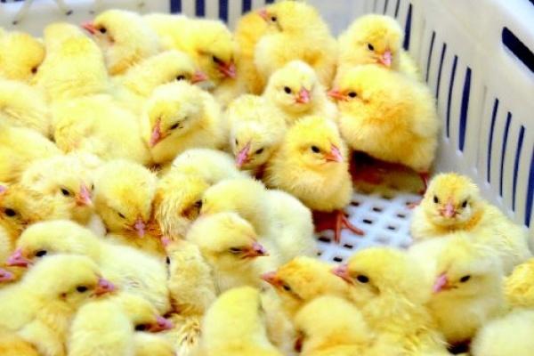 «Черкизово» сактивами вВоронежской области увеличила продажи птицы на9%