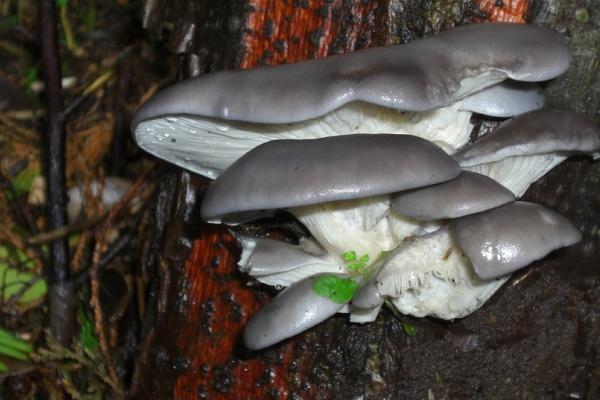 Липецкий производитель грибов планирует зайти с продукцией в крупные торговые сети