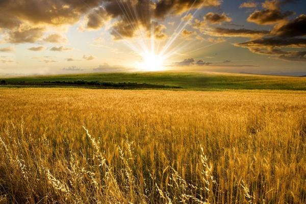 Хозяйства Липецкой области убрали половину площадей зерновых