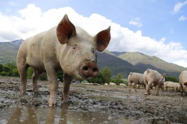 Губернатор поддерживает строительство свинокомплекса в Липецкой области с условием