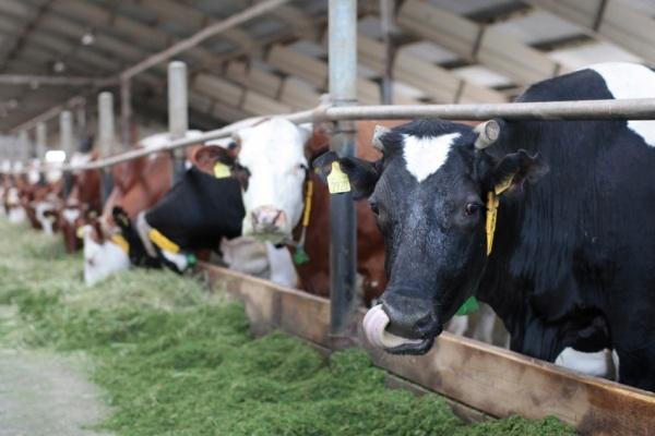 Липецкая компания «Колосс» строит молочный комплекс за 1,3 млрд рублей