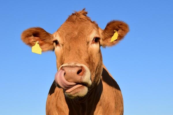 Высокие показатели в животноводстве не помогли остановить в Липецкой области убыль скота