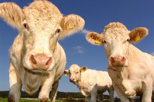 Липецкое животноводство прибавило в весе