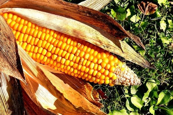 Липецкий завод «КорнБиоТех» к концу года подыщет подрядчиков для строительства кукурузного завода за 1 млрд рублей