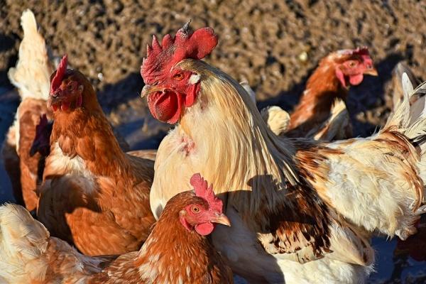 Липецкому предпринимателю не удалось добиться в суде сноса задонских птицефабрик «Черкизово»