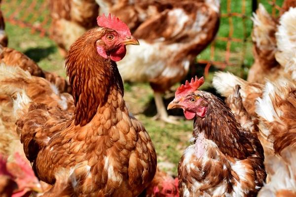 Работающая в Липецкой области группа «Черкизово» застраховала свиней и птиц на 8 млрд рублей