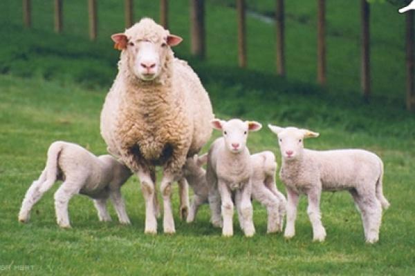 В Липецкой области хотят построить первый в регионе завод по переработке овчины