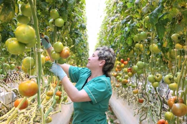 Погода притормозила открытие первой очереди тепличного проекта липецкой компании «Елецкие овощи»