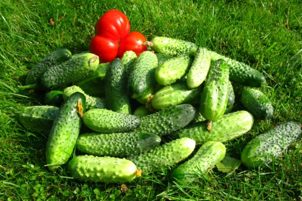 Инвестиции в липецкий агробизнес превратили данковские теплицы в овощной рай