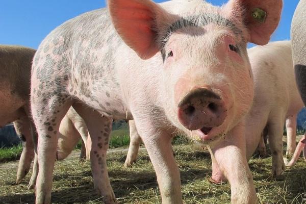 Крупнейшие в России производители свинины не смогли по правилам утилизировать в Липецкой области навоз и оштрафованы