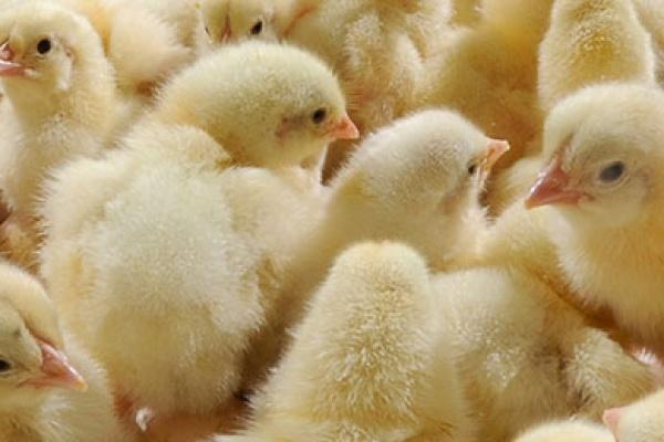 Бизнесмены добиваются сноса липецкой птицефабрики группы «Черкизово»