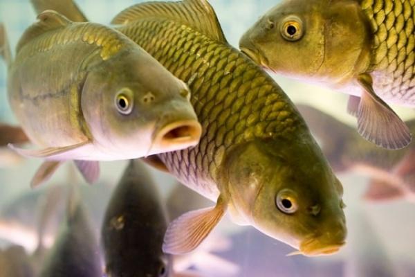 Липецкие рыбоводы в 2015 году намерены увеличить производство товарной рыбы