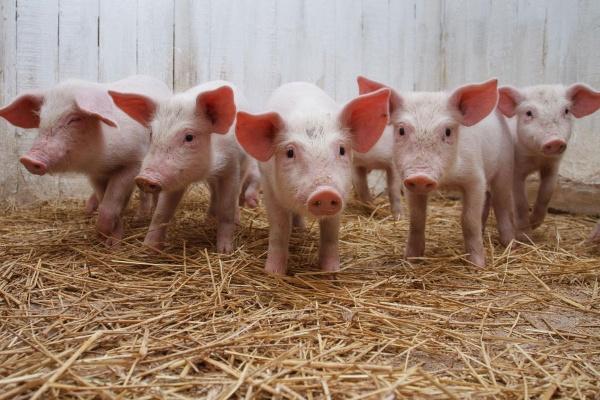 Сбербанк предоставил «Черкизово» займ на строительство свинокомплексов в Липецкой области