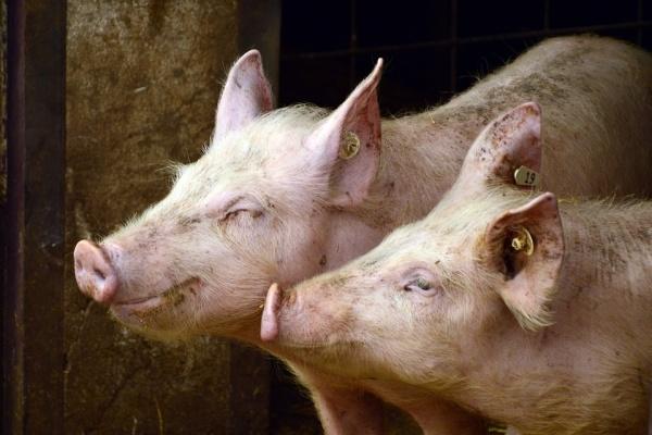 Модернизация свиноводческого комплекса в Липецкой области обойдётся инвесторам в 200 млн рублей
