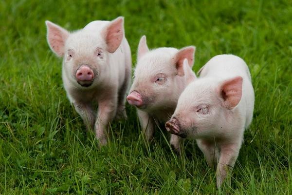 На липецкие свинофермы в декабре поступали свиньи из комплексов, где обнаружена АЧС