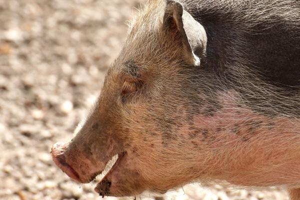 Группа компаний «Черкизово» в Липецкой области вводит в строй новые свинокомплексы за 500 млн рублей
