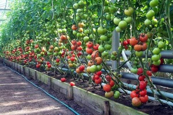 Липецкая компания «Овощи Черноземья» вырастит первые томаты тепличного комплекса к Новому году