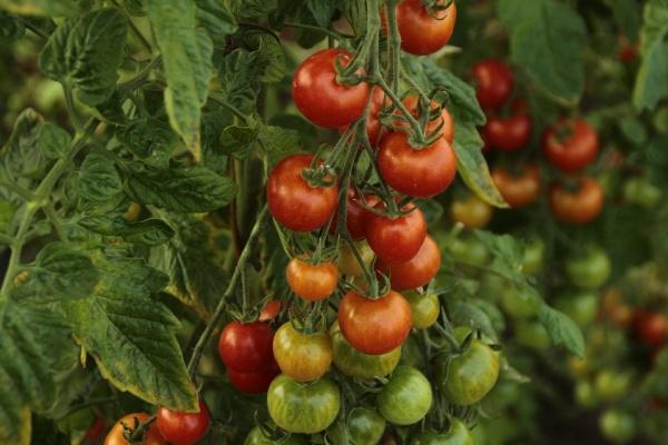 Новый комплекс липецкой компании «Овощи Черноземья» вырастил первую партию баклажанов и томатов