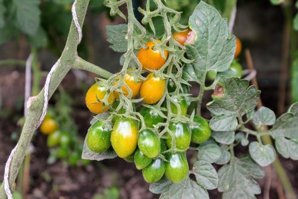 Липецкие «Овощи Черноземья» вырастят первую партию томатов на новом комплексе после январских праздников 2018 года
