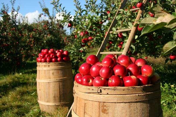 В Липецкой области инвесторы планируют вложить 700 млн рублей в создание яблоневых садов