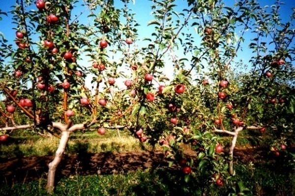 Французская линия по сортировке яблок обошлась липецкой «Агрофирме имени 15 лет Октября» в 2,5 млн евро