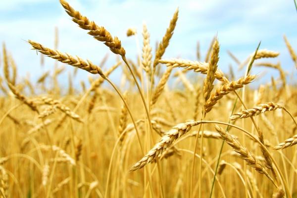 ВСаратовской области заканчивается сбор урожая