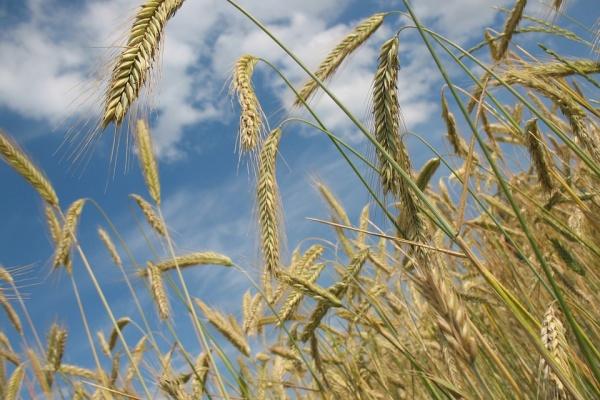 Немецкие инвесторы запустили в Липецкой области селекционно-семеноводческий центр за 10 млн евро