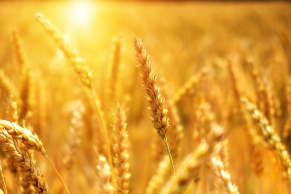 Липецкая агрофирма «Аврора» в 2018 году подзаработала на зерновых культурах 890 млн рублей