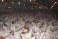 «Кривец-птица» запустила в Липецкой области индюшиный комплекс за 1,25 млрд рублей
