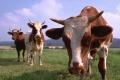 В Липецкой области с начала года уменьшилось поголовье скота