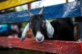 Разводить в Липецкой области идущий на убыль мелкий рогатый скот по-прежнему нерентабельно