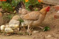 Россельхознадзор ввел усиленный контроль за продукцией липецкого «Куриного царства»