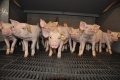 «Отрада Ген» начинает строительство третьего свиноводческого комплекса за 1,2 млрд. рублей
