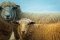 Липецкие фермеры реализовали проект по созданию крупного овцеводческого хозяйства всего за 2,5 млн рублей