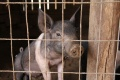 Судьба свинокомплекса в Сухой Лубне решится после экологической экспертизы
