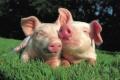 Карантин по африканской чуме свиней снят в Липецкой области постановлением губернатора